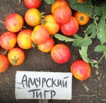 Caracteristici și descriere a soiului de tomate tigre Amur