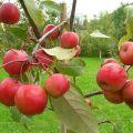 Descripción y características de la variedad de manzanas Paradise, plantación, cultivo y cuidado.