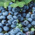 Descripción y características de la variedad de arándanos Bluegold, reglas de plantación y cuidados.