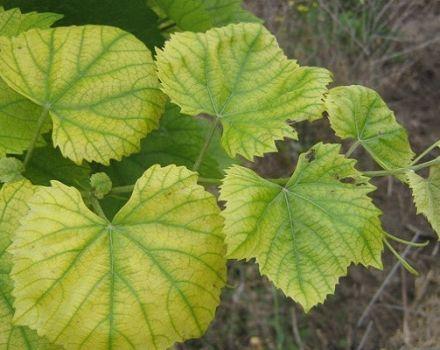 Hogyan kezeljük a szőlőből származó klorózist vas-vitriollal, mit kell tenni és hogyan kell feldolgozni?