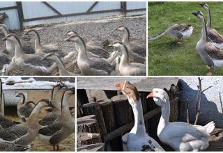 Descripción y características de los gansos chinos, las reglas para su mantenimiento.