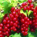Descrierea soiului de coacăze roșii Jonker van Tets, cultivare și îngrijire