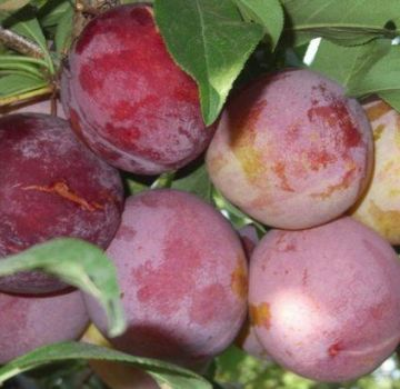 Descrierea soiului de prune Otsark Premier și polenizatori, cultivare și îngrijire