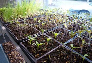 Cómo preparar semillas de tomate para plántulas, procesamiento y remojo.