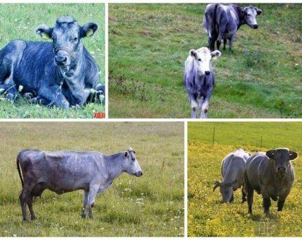Cómo alimentar adecuadamente a una vaca en casa, normas de racionamiento por un día y un año.
