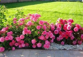 Border rózsák fajtáinak leírása, ültetés, termesztés és gondozás a kertben
