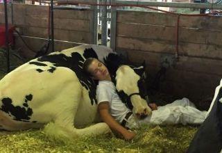 Kako i u kojem položaju spavaju krave, koliko dugo odmaraju i utjecaj na zdravlje