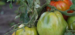 Περιγραφή και χαρακτηριστικά της εξαιρετικά πρώιμης ποικιλίας ντομάτας Raja