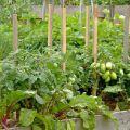 Amellyel cékla ültethető ugyanabban a kertben, kompatibilis a hagymával és más zöldségekkel