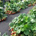 Cum să faci un pat de grădină și să plantezi căpșuni sub material de acoperire negru