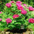 Regels voor het planten en verzorgen van een boompioen, groeien en waarom deze niet bloeit