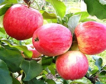 Opis a charakteristika odrody Candy Apple, pestovanie v regiónoch a charakteristické znaky starostlivosti