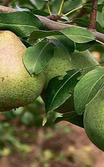 Descripción y polinizadores de peras de la variedad tardía Belorusskaya, plantación y cuidado.