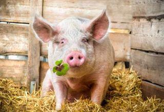 Que comen los cerdos y que alimentarlos para que crezcan rápidamente en casa
