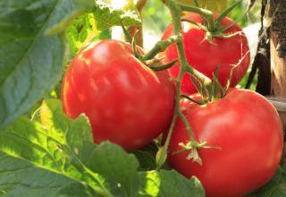 Caractéristiques et description de la variété de tomate Boeuf Boeuf, son rendement