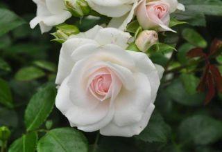 Az aszpirin rózsafajta leírása, termesztése, gondozása és szaporodása