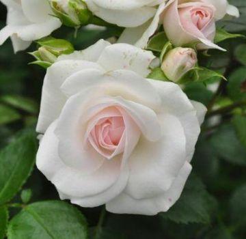 Opis sorte ruža Aspirin, uzgoj, njega i razmnožavanje