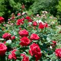 Descripción de las variedades de rosas polyanthus, cuidado y cultivo a partir de semillas y esquejes.