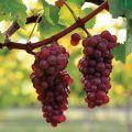 Descrierea și caracteristicile strugurilor Pinot Grigio, pro și contra, cultivarea