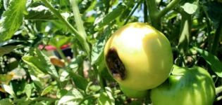 Por qué los tomates pueden volverse negros cuando están maduros y qué hacer