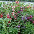Odrody a odrody kvetov Vanka mokré s popisom a charakteristikami
