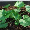 Esquema de cómo formar y pellizcar calabacines en campo abierto.