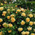 Descripción de variedades de rosas trepadoras para cultivar en Siberia, cuidado y métodos de reproducción.