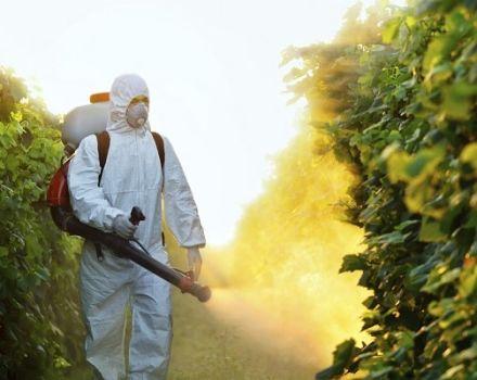 Lichid Pervikur, Infinito, Allette, Hom și Bordeaux - fungicide pentru castraveți