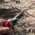 Cómo podar correctamente los albaricoques en verano, primavera y otoño y errores comunes que cometen los jardineros