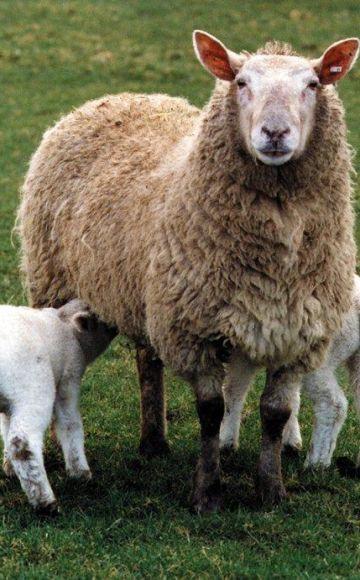 Koji je točan naziv za ovčje mlijeko, koji se proizvodi i sirevi proizvode od njega