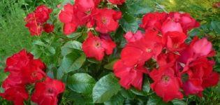 Descripción y características de las rosas Robusta, sutilezas de plantación y cuidado.