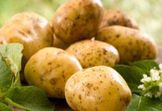 Descrierea soiului de cartofi Lorkh, caracteristici de cultivare și îngrijire
