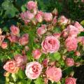 Descripción y características de las variedades de variedades de rosas Lydia, plantación y cuidado.