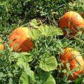 Descrierea soiurilor populare de dovleac, cultivarea și randamentul lor