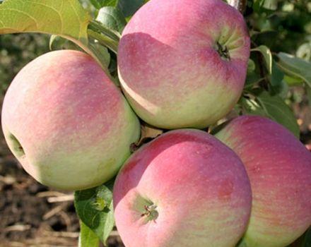 Descripción y características de las variedades de manzana Frescura, sutilezas de plantación y cuidado.