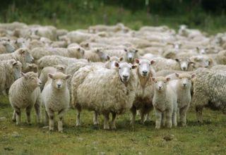 Vodeće zemlje u ovčarstvu i gdje se razvija ova industrija, gdje ima više stoke
