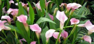 30 especies y variedades de alcatraces, plantación y cuidado en campo abierto, creciendo en el jardín.