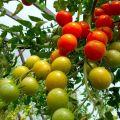 Ültetés, termesztés és a paradicsom gondozása polikarbonát üvegházban