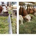 Kétféle szarvasmarha etetés, milyen ételekre van szükség, és hogyan kell kiválasztani a borjakat