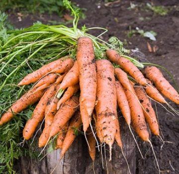 Que faire si les carottes n'ont pas poussé, comment accélérer rapidement la germination