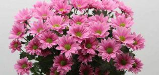 Descripción y tipos de crisantemo Bacardi, recomendaciones de plantación y cuidado.
