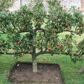 A kúszó almafa leírása és jellemzői, ültetési és gondozási jellemzői