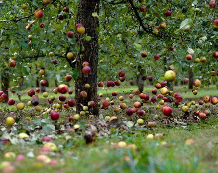 Razones por las que un manzano puede arrojar frutos antes de que maduren y que hacer