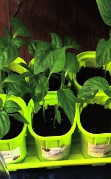 Cómo cultivar albahaca a partir de semillas en casa para plántulas.