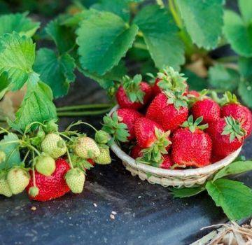 Lijst met de beste fungiciden voor de behandeling van aardbeien en aardbeien