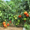 Quelles variétés de tomates à croissance basse sont les meilleures pour les sols ouverts
