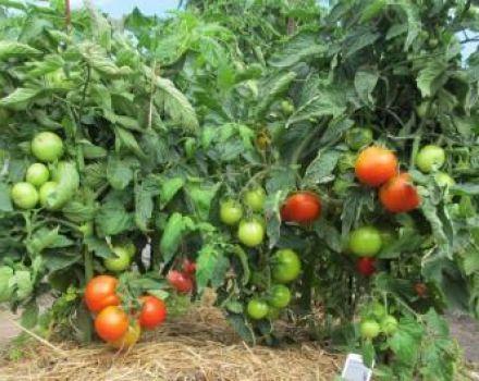 Milyen fajtái az alacsony növekedésű paradicsom a legmegfelelőbbek a nyílt talajon