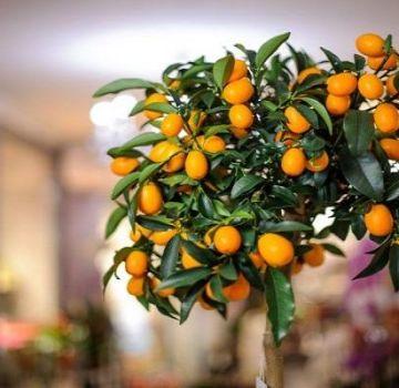Description de la variété de citron de Tachkent, culture et soins à domicile