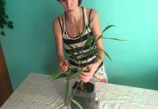 Cómo cultivar y cuidar adecuadamente el jengibre en casa.