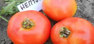 Opis odrody rajčiaka Neptún a jeho vlastnosti